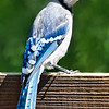 2013-07-21. B is for Blue Jay.<br /> <br /> Thank you for taking the time to view and comment on my abstract. Sorry I wasn't around yesterday, can't seem to get rid of this kidney infection.