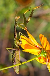 M is for Mantis -- Praying Mantis