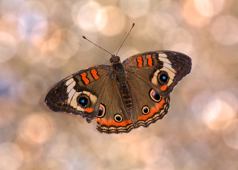 2014-12-10<br /> Buckeye Butterfly<br /> He has a shadow and was resting or eating minerals from the pebbles on the ground (which turns into nice bokeh in PS  ...)