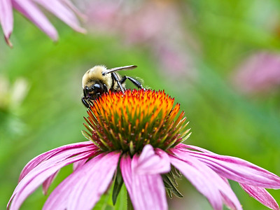 2013-08-05. Bee on Coneflower.<br /> <br /> Thank you for your views and comments  yesterday!