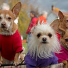 11-03-2012. Dogs Day Out. Found them enjoying the excitement of the pumpkin festival. Thank you for yesterday's comments.