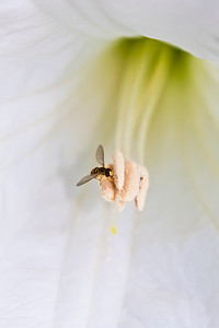 02-26-2013. Tiny Fly Inside a Moon Flower in the morning hours before closing.  Thank you for your comments yesterday!