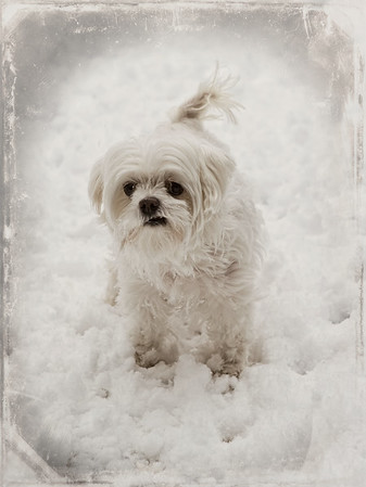 """02-16-2013. """"Okay Mom, I'm ready to come in"""". This is Anabelle (Annie); 10 yrs. old and a whoppin' nine pounds!  Thank you for your comments on my waiting for spring snow photo yesterday!"""