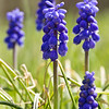 2013-04-23. Grape Hyacinth