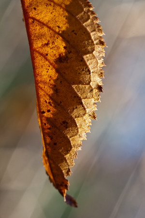 11-18-2012. Fall leaf ... One of the few still hanging from the weeping (cherry I think) tree in our front yard. Wow! I was pleasantly surprised to see comments from some of you on some of my photos from other galleries! It's so nice of you to take time and look! Thank you!!