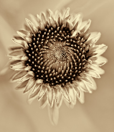 2013-04-28. Cone flower in bloom. Processed with Topaz Black and White Effects. The color version is in my flower gallery. Here's the link: http://kjakes1.smugmug.com/Nature/Flowers/i-MmLxthF/2/XL/_MG_0559a-XL.jpg Thank you to Photopondering for suggesting black and white. Also, Thanks for your comments on my smoke tree photo  ADDED NOTE on 4/29: This (#10 spot) photo marks the end of my 6th month in the Daily Community. I know there are gaps and many of my pictures are off as I have a long way to go. I am grateful to you all for inspiring me to take better pictures. This has been an unforgettable experience. Now it's time to take a break and take care of my family.