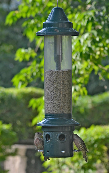 Watching birds at the feeder in my back yard is a nice way to spend part of Labor Day Sunday. Before the summer heat and lack of rain we had flocks of birds. Now, there are just a few left. (Sept. 2, 2012)