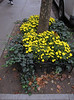 One knows autumn is coming when the sycamore or plane trees start to drop their leaves on the sidewalk. When the summer plants are replaced by flowering mums around the trees, one knows autumn is here. Their bright yellow adds cheer to a rainy dreary Fall day. (10-9-12)