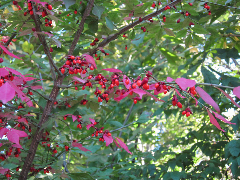 The euonymus shrub turns bright red early in the Fall. This one, in the woods, had berries, too, which was a surprise. (10-13-12)
