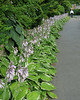 Row of Hostas (7-22-14)