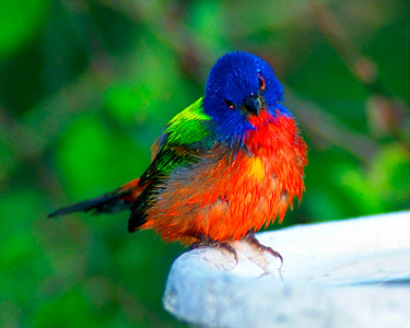 Puzzled Painted Bunting