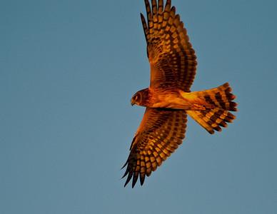 Northern Harrier in Sunset Light