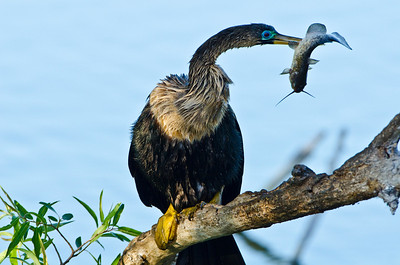 Anhinga with just caught prey fish
