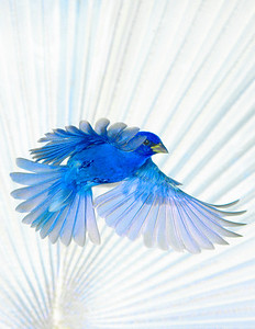 Indigo Bunting in flight Bismarck Palm background