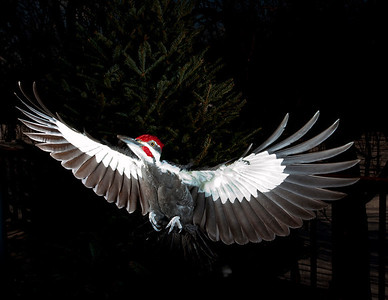 Male pileated woodpecker in flight