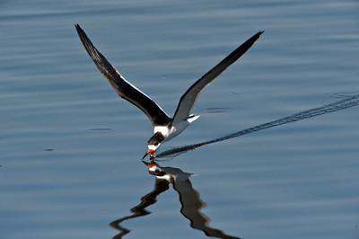 Black skimmer, feeding