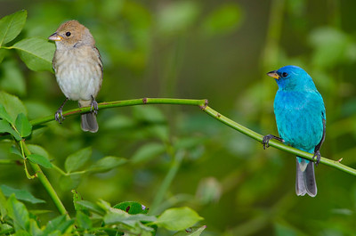 Indigo bunting pair, female and male