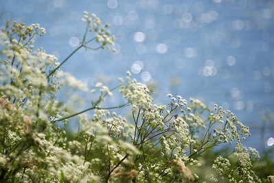 28.06.13 - Sparkles  Cow parsley by the river in the sunshine. Thanks for the wonderful responses to my daisy image yesterday :)