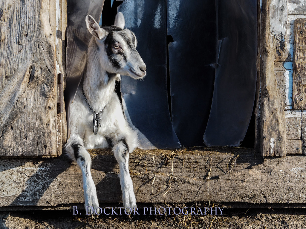1405_Coach Farm Goats_003