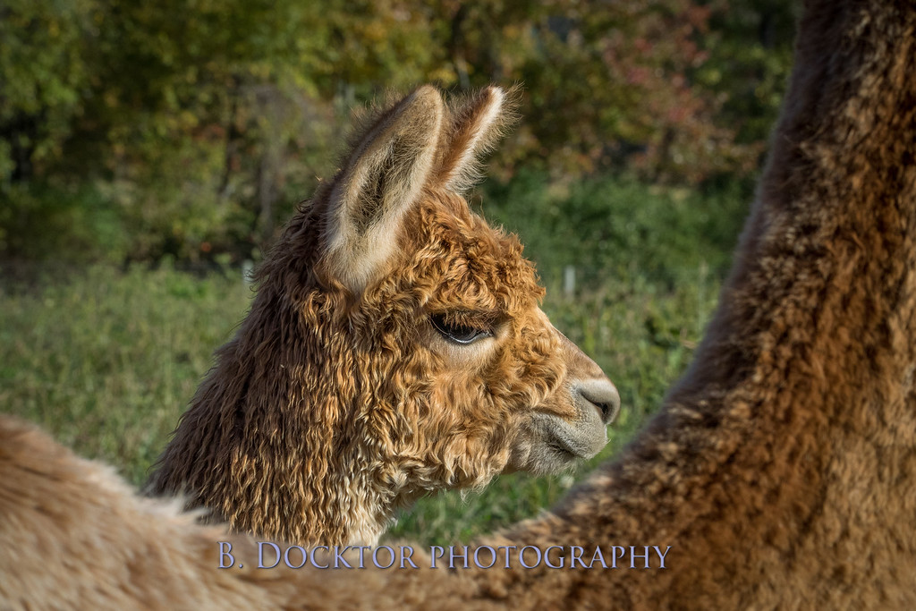 Golden Alpacas Rt  27-180