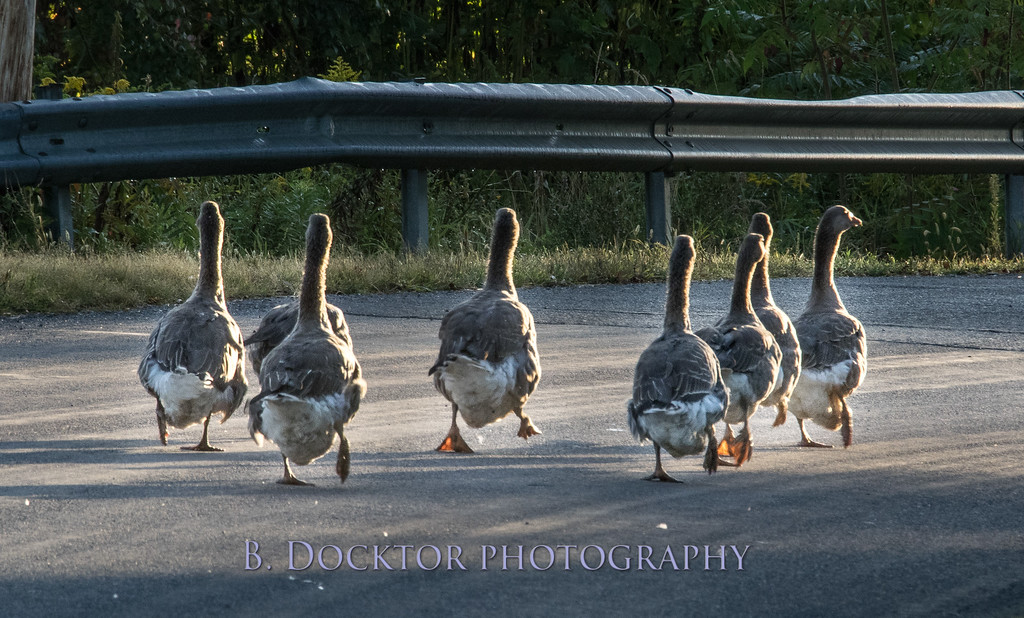 1409_geese in road by Sommerhof farm_003