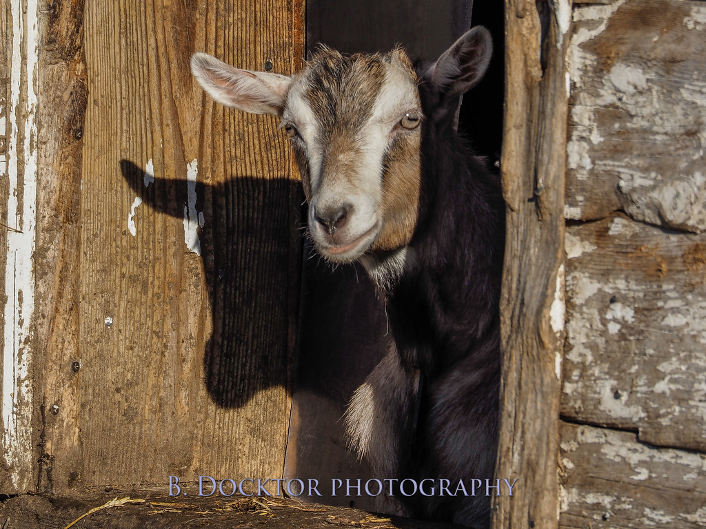 1405_Coach Farm Goats_008