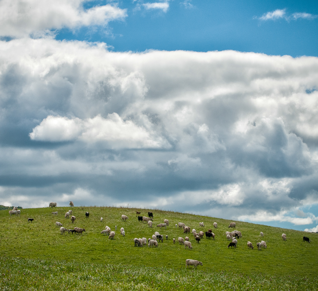 Cows on hilltop by East Ancram Road, Ancramdale