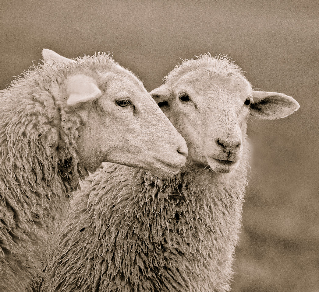 Herondale Farm whispering sheep
