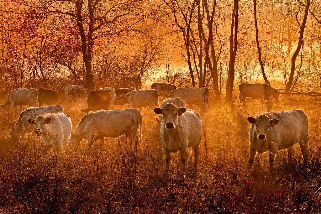 Herondale Farm cows at sunrise