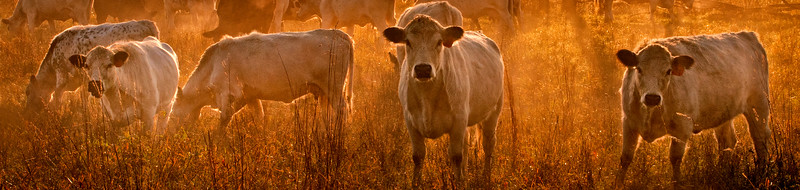 1010_Herondale Cows in Sunrise Fog MASTER_001