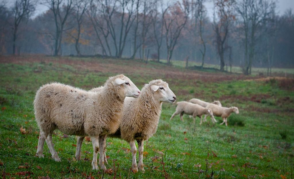 20x30 Herondale 2 & 3 sheep Master