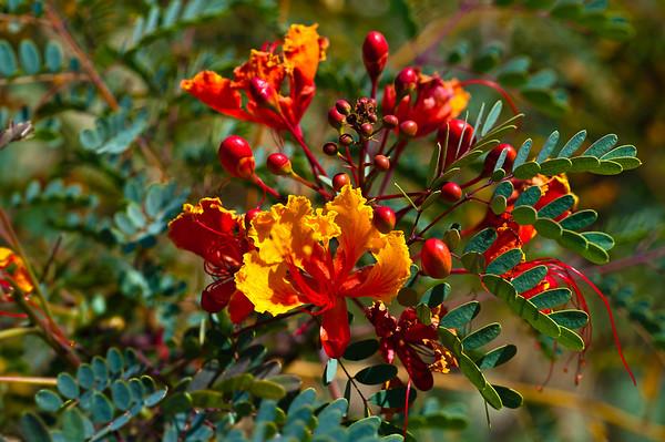 ORANGE-BERRY PLANT
