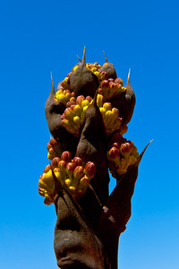 AGAVE TOP