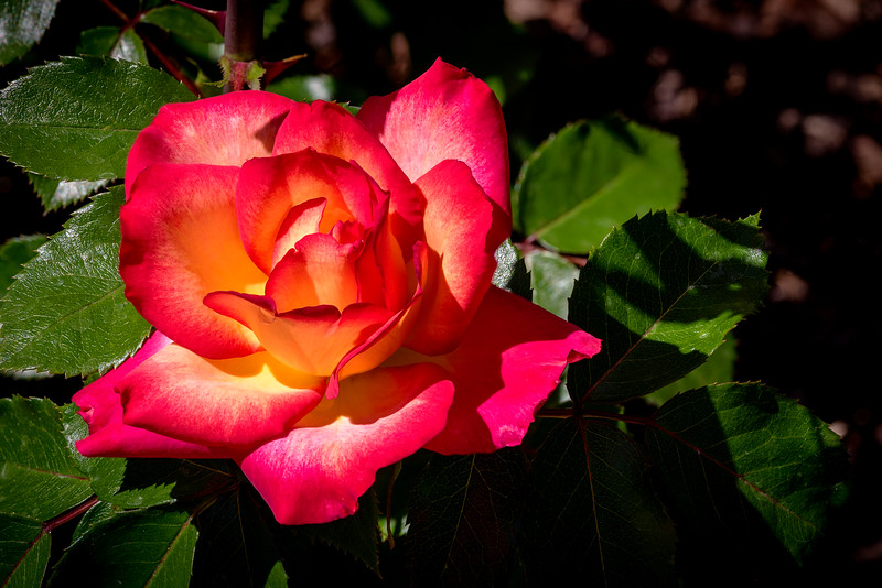 Red and yellow colored rose in Julia Davis Park Boise Idaho