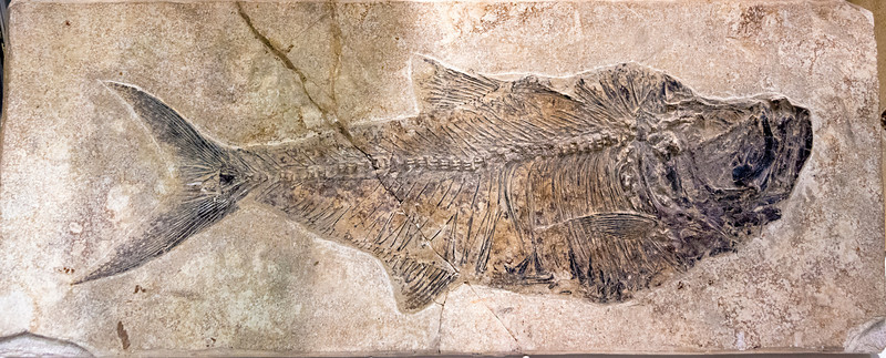 Fossil of a fish in stone