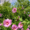 Close up of a pink rose of Sharon bush