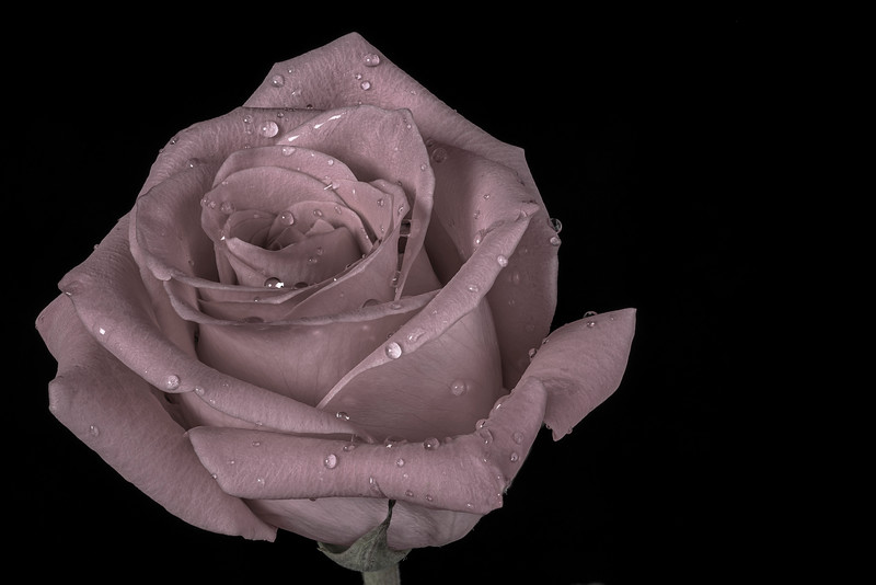 Fresh rose with a color wash processing