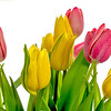 Spring Tulips red and yellow