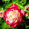 Beautiful red and white rose