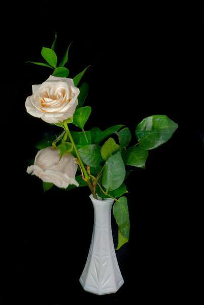 White Rose in a white vase with its reflection looking like 2 rose buds