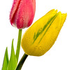 one yellow and red tulip with water drops