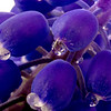 Macro Grape Hyacinth with water drops