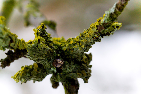 Winter Lichen