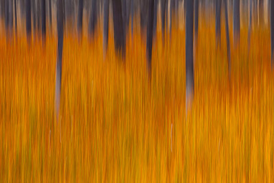 Tree abstract, Yellowstone NP