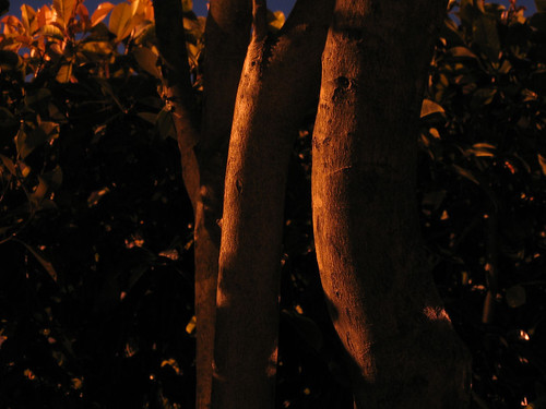 The trunks of the tree outside my patio photographed in natural light in the dark (161_6165)