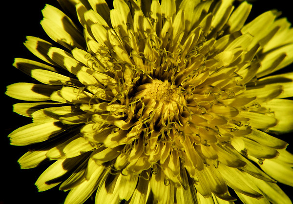 Close-up of a common dandelion (Taraxacum officinale) in bright sunshine (20080114_01296_autumn)