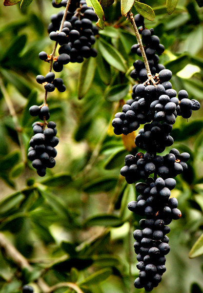 Fruit of Chinese privet (Ligustrum sinense) in autumn (2010_02_20_050039_autumn)