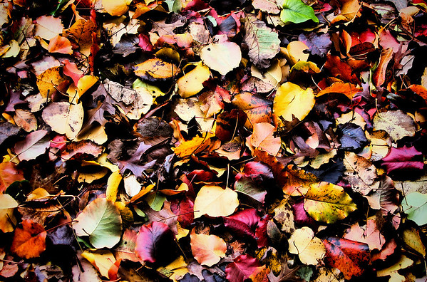 A blanket of autumn leaves showing a rainbow of colors (219_1928_autumn)