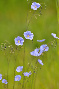 Blue Flax, Idaho. Topic: Photographers choice Score:  9.  Suggestions were to consider cropping the bottom and right or even consider reducing image to just the top 3 flowers.