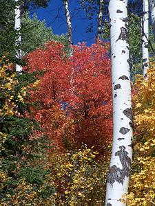 Idaho reds, near Palisades, Idaho. Score: 8.5, Topic: Leaves
